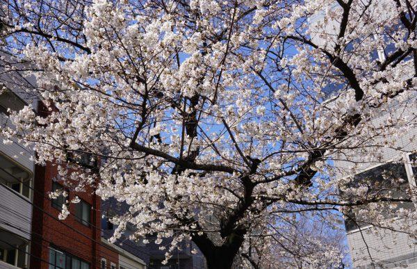 春の桜カラー